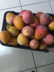 tiko mangos